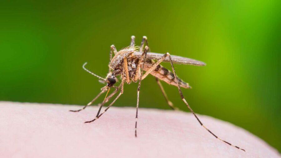 Pourquoi-les-moustiques-piquent