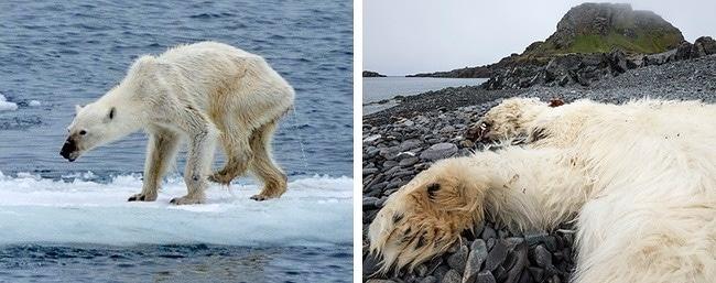 ours-polaire-mourant-de-faim