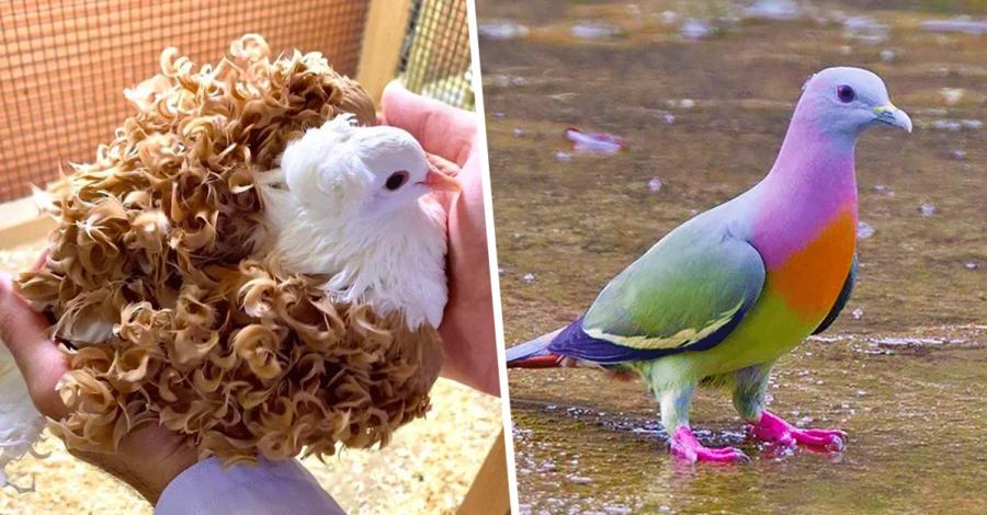 photos-de-pigeon-les-plus-beaux-au-monde