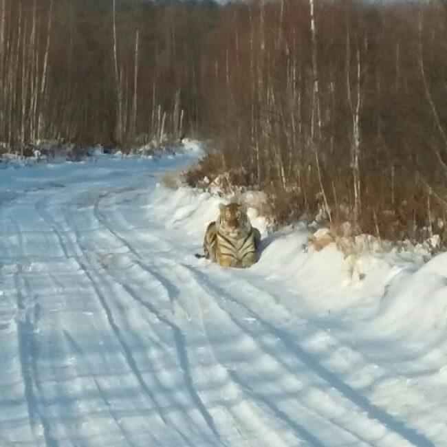 tigre-de-Sibérie